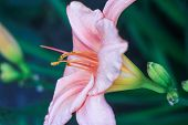 One Flower Blooming Pink And White Lily On A Green Blurry Background Blooming In The Spring In The G poster