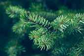 Pine Leaves Background. Natural Background. Christmas Tree Background. Pine Leaves Dark Background D poster