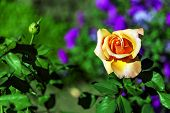 Flowers. Rose. A Beautiful Yellow Rose. Yellow Rose Flower. Garden Rose Surrounded By Green Leaves. poster