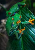 Red-eyed Tree Frog (agalychnis Callidryas), Close Up poster