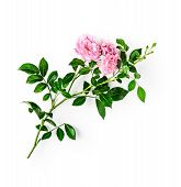 Pink Rose Flower With Stem And Leaves. Small Climbing Roses In Summer Garden. Single Object Isolated poster