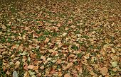 Season Changing, The Natural Carpet Of Fallen Leaves On The Grass Field For Background And Banner poster