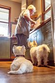Pet Westie Dogs Hoping Retired Caucasian Owner Will Drop Food Cooking In Domestic Kitchen At Home -  poster