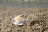 Shell On A Beach Sand. Shell On A Sand Shore. Shellfish On A Beach. poster