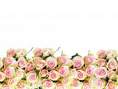 pic of pink rose  - pink roses border - JPG
