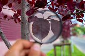 Studying Of A Red Leaf Of A Tree Through Magnifying Glass In A Male Hand, Ecology, Botany poster