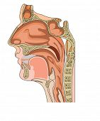 foto of mandible  - Anatomy of the nose and throat - JPG