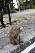Monkey Eating Banana. Macaque, Macaca Fascicularis, Long-tailed Or Crab-eating Macaque At Monkey Hil poster