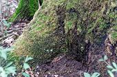 Old Tree, Covered With Moss Fairy Tale Fine Art Spooky Fantasy Color Outdoor Image Of Gigantic Roots poster