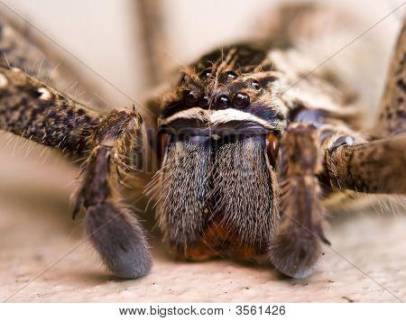 Macro Rain Spider