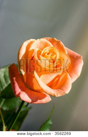 Brightly Orange Rose