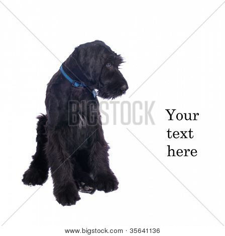 Closeup of very attentive schnauzer puppy looking down as if at text with space for your text, isolated on white background