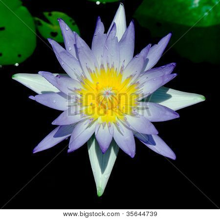 Heavenly Lily Exotic Bloom