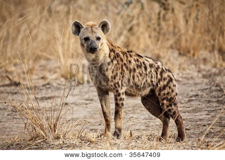 portrait of spotted hyena in luangwa national park zambia