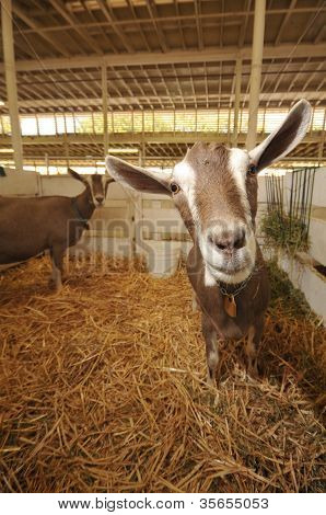 Goats In A Stall With Straw And Hay