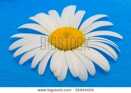 Camomile on a blue background