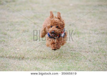 Little Poodle Dog Running