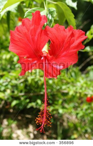 Red Hibiscus Guam 2