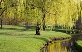 foto of weeping willow tree  - Willow trees by the river side in Michigan park - JPG