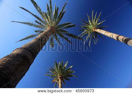 Tall palmtrees