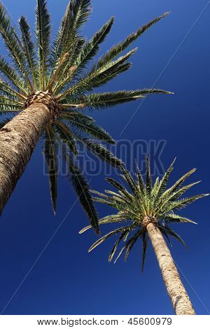 Altas palmeras