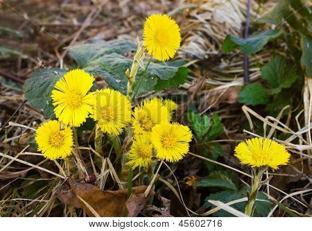 A Few Yellow Flowers Coltsfoot