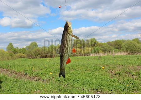 beautiful caught fish chub