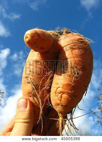 pulled out unusual carrot