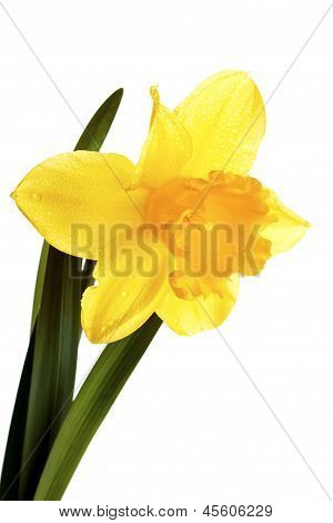 Yellow Narcissus.