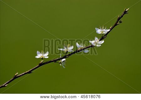 Cistus Monspeliensis Cistacee Salviaefolius  Clusii Rosacee