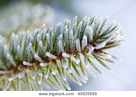 Frozen Pine Tree Branch