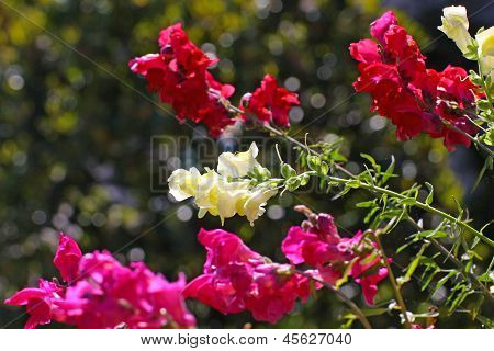 Beautiful And Fragrant Snapdragons Stained With Colourful Flowers Bloom In The Summer