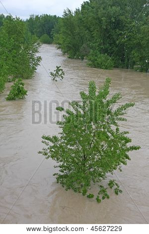 Green Trees Of Elm And Hazel Immersed In Mud Overflown River Water During The Flood