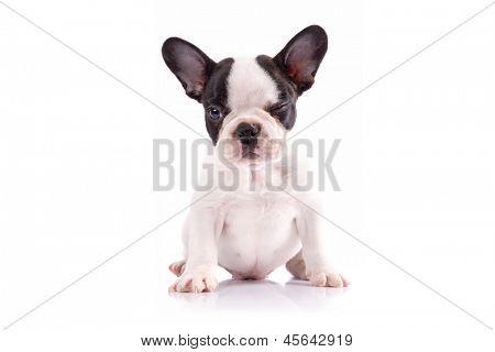 French bulldog puppy portrait over white background