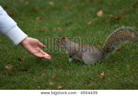 Brown Squirrel Eating