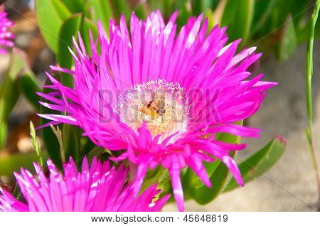 Carpobrotus Edulis flor, Itália, Fico Degli Ottentotti
