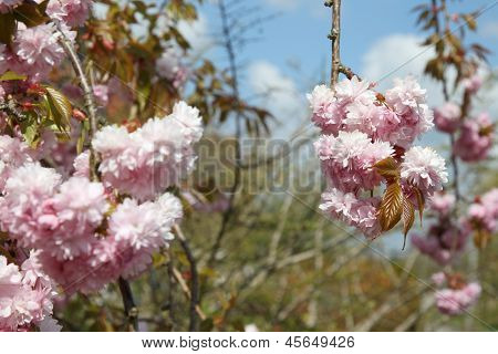 flowering cherry tree (prunus avium)
