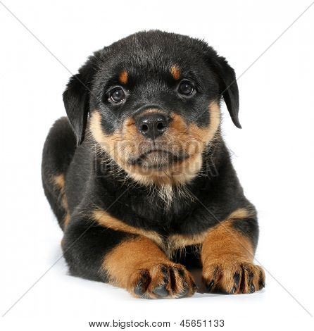 Little Rottweiler puppy dog lies down
