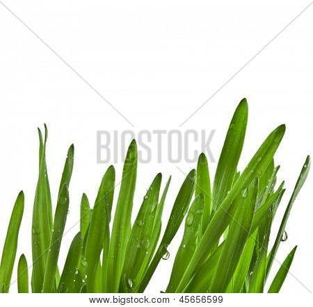 Green wheat grass close up macro shot  isolated on white background