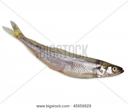 one fresh smelts fish isolated on white background