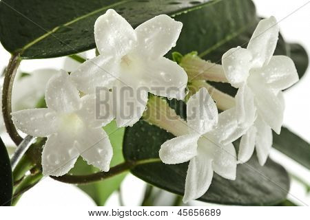 Jasmine Stephanotis plant isolated on a white background