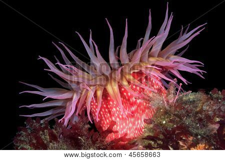 A beautiful red rose sea anemone with tentacles fully exposed feeds on tiny plankton floating in the waterat night. Image shot in the Channel Islands, San Miguel Island, California.
