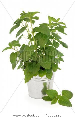 Lemon balm plant in an aluminium pot over white background. Melissa officinalis, can be used as a mosquito repellent.