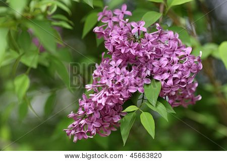 Common Lilac, Syringa Vulgaris