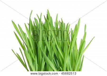 Pasto de trigo fresco verde