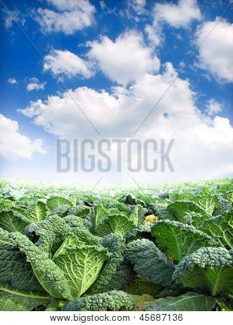 green kale field