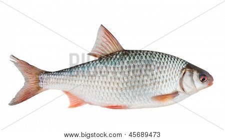 Common roach (rutilus rutilus) isolated on white with clipping path