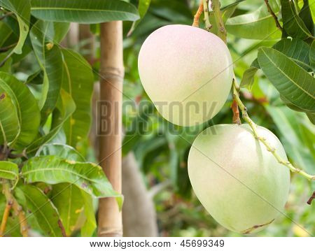 Mangoes On The Branch Of A Tree
