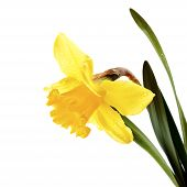 picture of jonquils  - Yellow flower of a narcissus - JPG