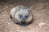 stock photo of wombat  - native australian Wombat lying and looking out for something - JPG